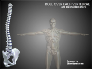 Interactive 3D spine to show how the nervous system controls every function of the body